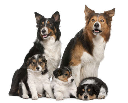 Male Border Collie, 7 years old, Female Border Collie, 3 years old, and Border Collie puppies, 6 weeks old, in front of white background Stock Photo - 9750040