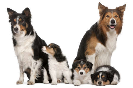 Male Border Collie, 7 years old, Female Border Collie, 3 years old, and Border Collie puppies, 6 weeks old, in front of white background photo