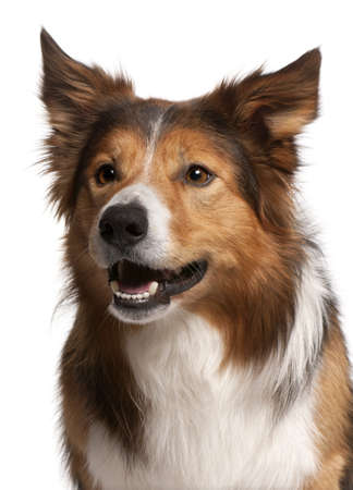 Close-up of Male Border Collie, 3 years old, in front of white background photo