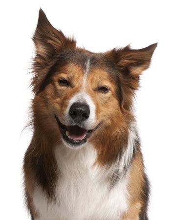 tete chien: Close-up de Border Collie Homme, 3 ans, en face de fond blanc