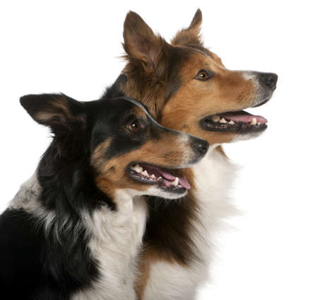 Close-up of Male Border Collie, 7 years old, Female Border Collie, 3 years old, in front of white background photo