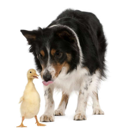 Female Border Collie, 3 years old, playing with duckling, 1 week old, in front of white background photo