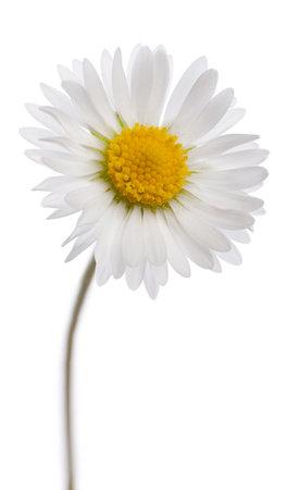 white daisies: Daisy - Bellis perennis Stock Photo