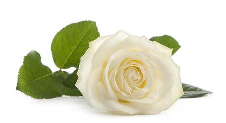Een enkele witte roos liggen op een witte achtergrond, Familie Rose Avalanche Stockfoto