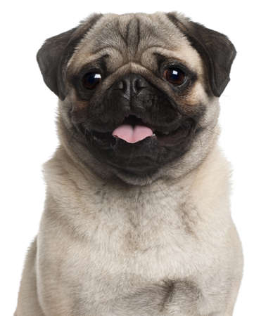 pug puppy: Close-up of Pug, 8 months old, in front of white background