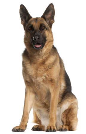 German Shepherd Dog, 4 years old, sitting in front of white background Stock Photo - 9750356