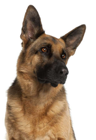 Close-up of German Shepherd Dog, 4 years old, in front of white background photo