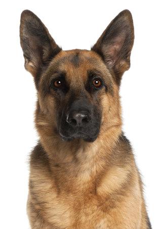 german shepherd: Close-up of German Shepherd Dog, 4 years old, in front of white background