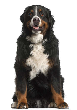 Bernese Mountain Dog, 4 years old, sitting in front of white background photo