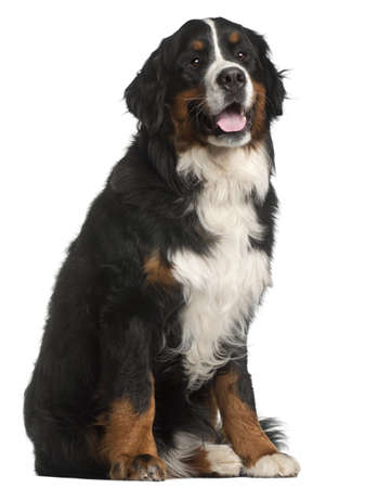Bernese Mountain Dog, 1 year old, sitting in front of white background photo