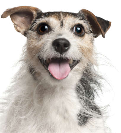 Close-up of Jack Russell Terrier, 7  years old, in front of white background photo