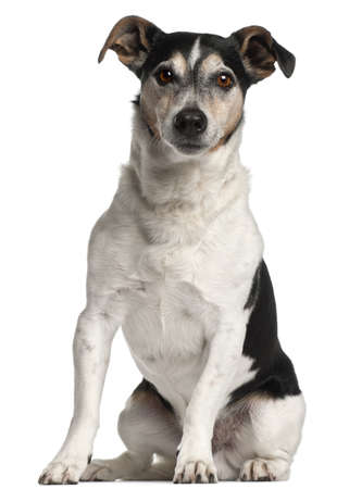 breeds: Jack Russell Terrier, 12 years old, sitting in front of white background Stock Photo