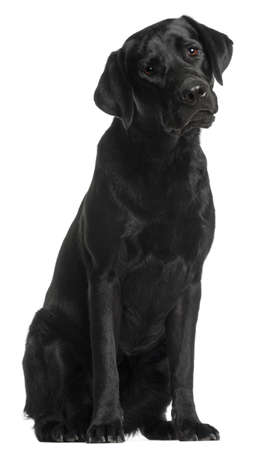 Labrador Retriever, 10 months old, sitting in front of white background photo