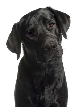 black labrador: Close-up of Labrador Retriever, 10 months old, in front of white background Stock Photo