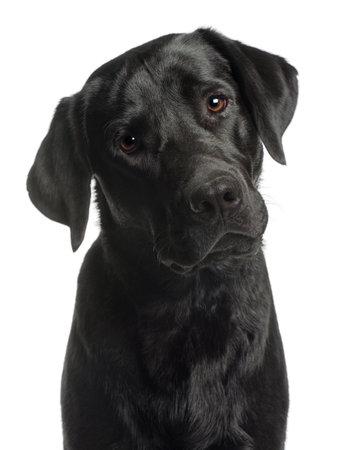 labrador retriever: Primer plano de Labrador Retriever, 10 meses de edad, de fondo blanco Foto de archivo