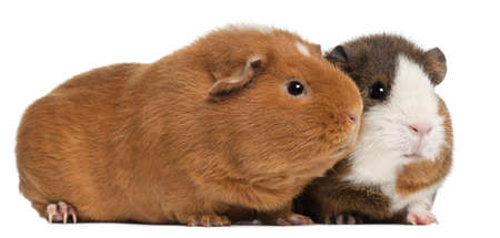 white  fur: Guinea pigs, 9 months old, in front of white background