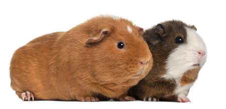 Guinea pigs, 9 months old, in front of white background photo