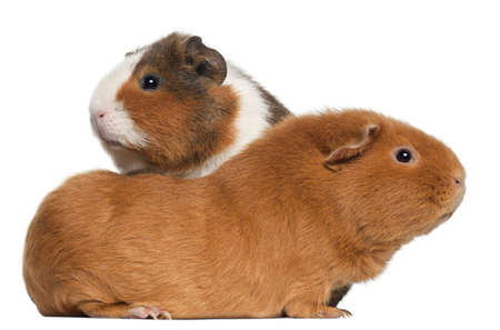 guinea pig: Guinea pigs, 9 months old, in front of white background