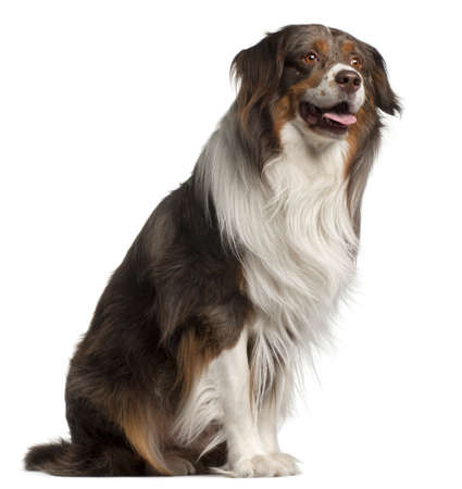 Australian Shepherd dog, 4 years old, sitting in front of white background photo
