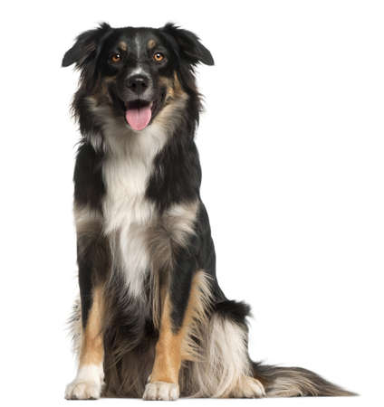 Australian Shepherd dog, 1 year old, sitting in front of white background Stock Photo - 9749167