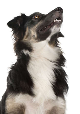 Close-up of Australian Shepherd dog, 1 year old, in front of white background Stock Photo - 9748944