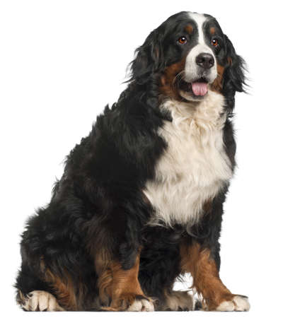 pedigreed: Bernese Mountain Dog, 20 months old, sitting in front of white background Stock Photo