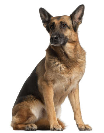10 years old: German Shepherd Dog, 10 years old, sitting in front of white background