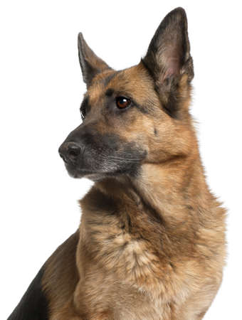 Close-up of German Shepherd Dog, 10 years old, in front of white background photo