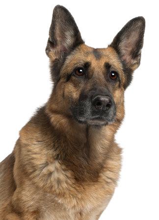 german shepherd: Close-up of German Shepherd Dog, 10 years old, in front of white background