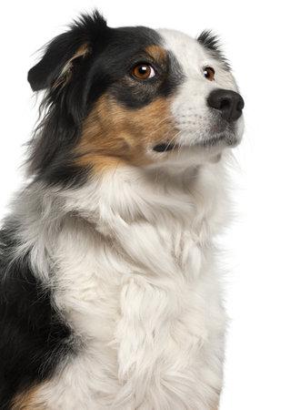 australian shepherd: Close-up of Australian Shepherd dog, 6 years old, in front of white background