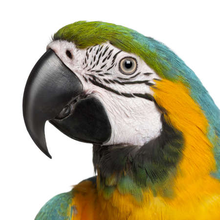 Close-up of Blue-and-Yellow Macaw, Ara ararauna, 16 months old, in front of white background Stock Photo - 9750412