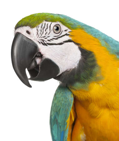 Close-up of Blue-and-Yellow Macaw, Ara ararauna, 16 months old, in front of white background photo