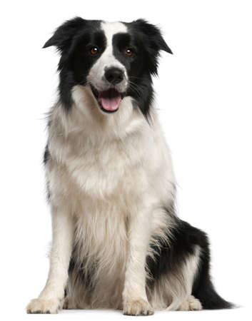 black dog: Border Collie, 2 years old, sitting in front of white background Stock Photo