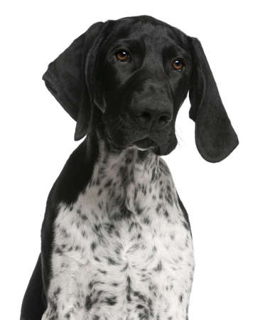 Close-up of German Shorthaired Pointer puppy, 4 months old, in front of white background photo