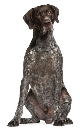 shorthaired: German Shorthaired Pointer, 3 years old, sitting in front of white background Stock Photo