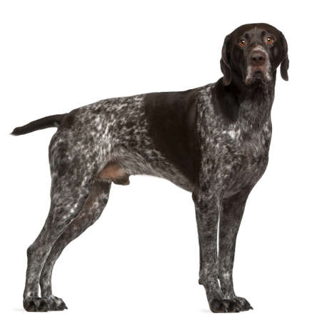 German Shorthaired Pointer, 3 years old, standing in front of white background photo