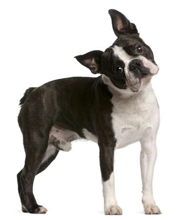 dog ears: Boston Terrier, 1 year old, standing in front of white background