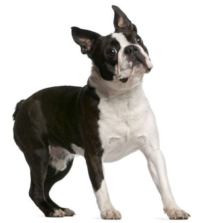 1 year old: Boston Terrier, 1 year old, standing in front of white background