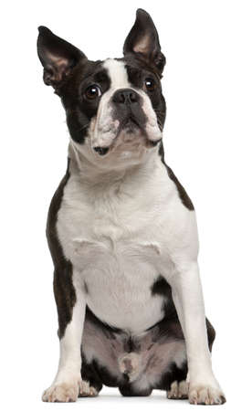 Boston Terrier, 1 year old, sitting in front of white background Stock Photo - 9750196
