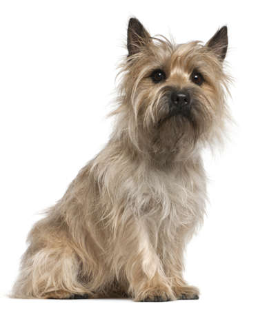 Cairn Terrier, 18 months old, sitting in front of white background Stock Photo