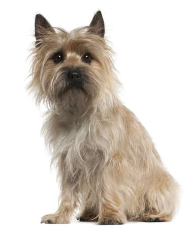 cairn: Cairn Terrier, 18 months old, sitting in front of white background Stock Photo