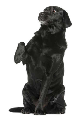8 years old: Labrador Retriever, 8 years old, sitting in front of white background