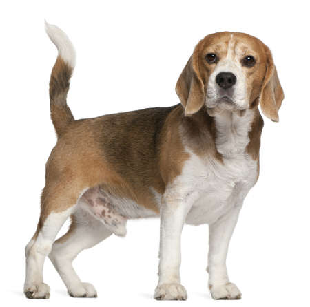 white tail: Beagle, 8 years old, standing in front of white background Stock Photo