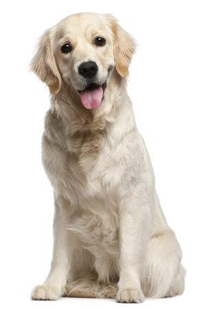 animal tongue: Golden Retriever, 10 mesi di et�, seduto di fronte bianca sfondo