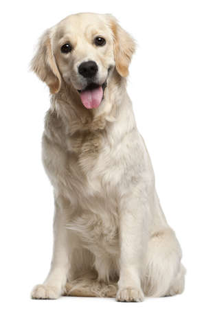 Golden Retriever, 10 months old, sitting in front of white background Stock Photo - 9749237