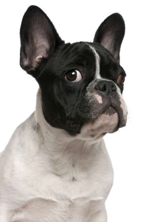 Close-up of French bulldog puppy, 5 months old, in front of white background photo