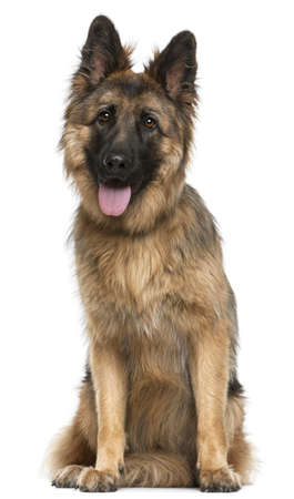 German Shepherd Dog, 21 months old, sitting in front of white background Stock Photo - 9749594