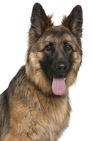portrait view: Close-up of German Shepherd Dog, 21 months old, in front of white background