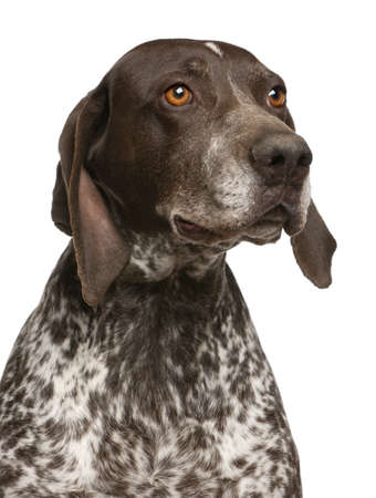 shorthaired: Close-up of German Shorthaired Pointer, in front of white background