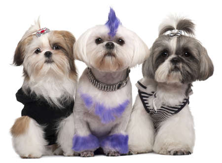 shih: Three Shih Tzus dressed up, 2 years old, 5 months old, and 6 years old, in front of white background